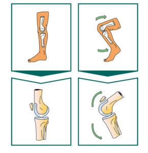 Congruence articulaire du genou - Dr Mylle, chirurgie orthopédiste à Paris