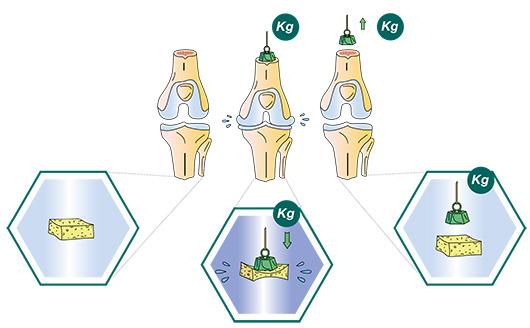 Les fonctions du cartilage articulaire du genou - Dr Mylle, chirurgie orthopédiste à Paris