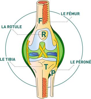 Les faces du genou - Dr Mylle, chirurgien orthopédiste à Paris