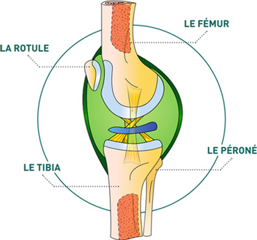 Le genou de profil - Dr Mylle, chirurgien orthopédiste à Paris