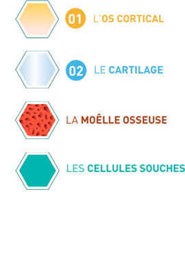 Structure osseuse du genou - Dr Mylle, chirurgie orthopédiste à Paris