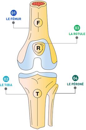 Les 3 os du genou - Dr Mylle, chirurgien orthopédiste à Paris